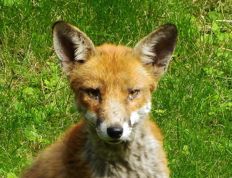 005 Fox 1024.jpg