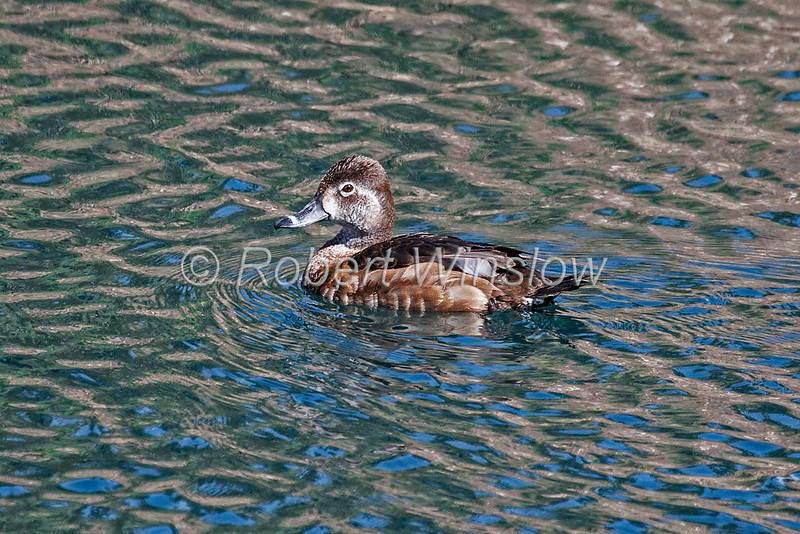 Ring-necked Duck, Aythya collaris, La Plata County, Colorado, USA, North America