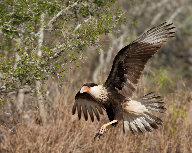 Crested Caracara in flight Martin Refuge.  Edinburg TX