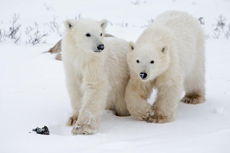 polar bear  5933.jpg