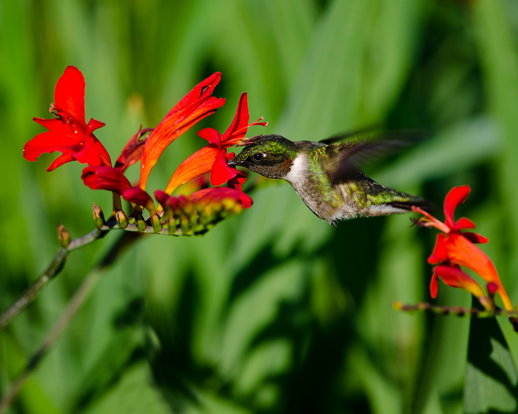 Hummingbird at Crocosmia 1