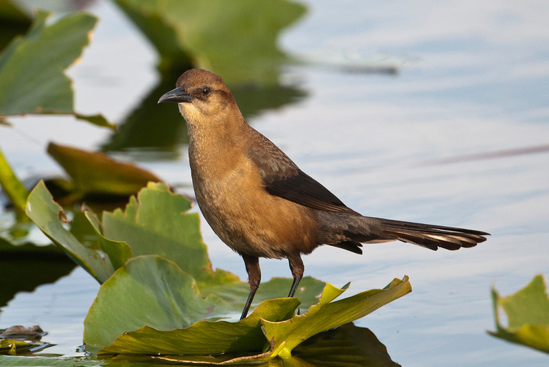 Grackle - Boat-tailed - female - Lake Toho - Kissimmee, FL