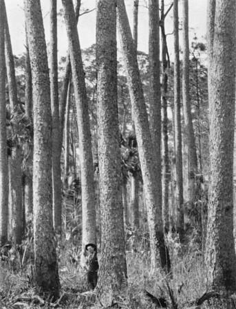 lzPine Forest