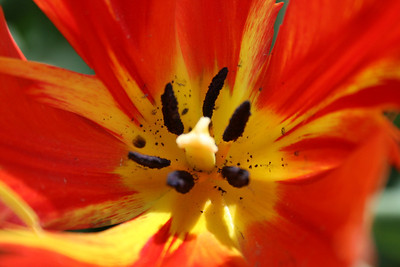 March April 2010 Tulip Farm