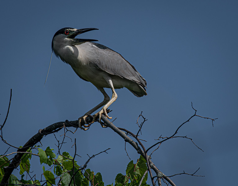 _5006928 Black-crowned Night Heron crouch & squawk.jpg