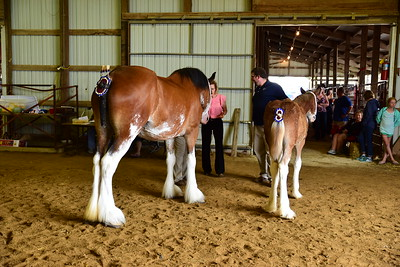 Clydesdale best pair of mares