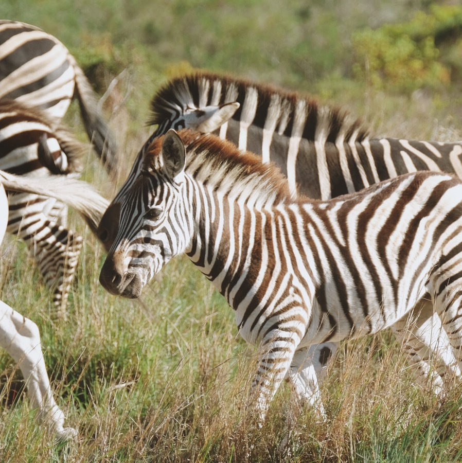 Zebras in the grass