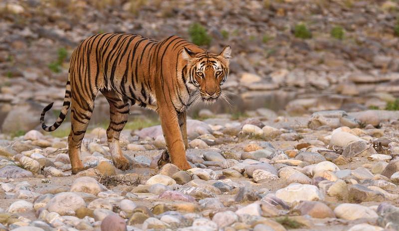 Tigress-Paarwali-Dhikala-Corbett.jpg
