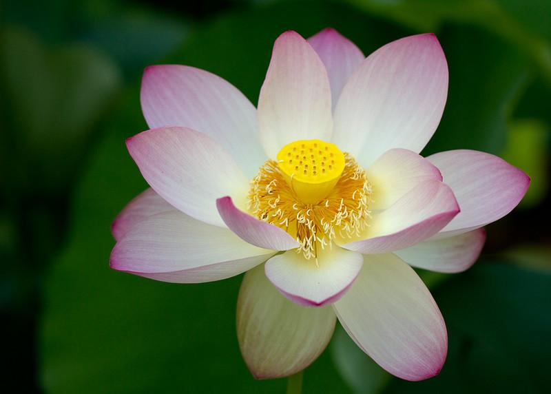 Indian Lotus 2
