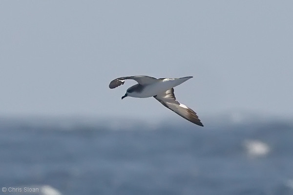 Cook's Petrel at deepwater pelagic off Santa Barbara, CA (05-01-2010) - 705-Edit.jpg