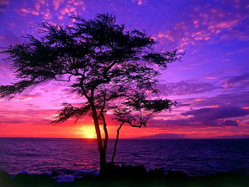 Kiawe Tree, Wailea, Maui, Hawaii.jpg