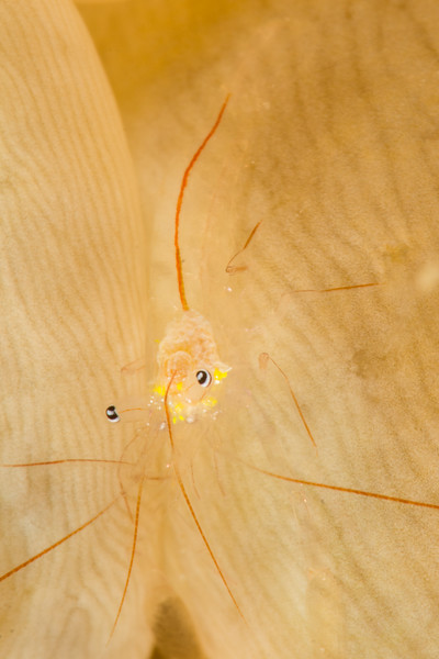 Bubble Coral Shrimp, grows to 1.5 cm