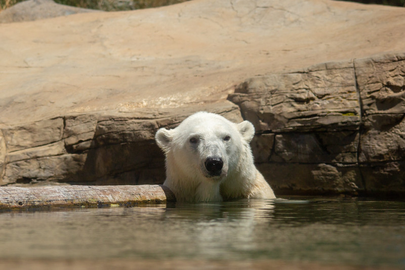 polar bear (17 of 50).jpg