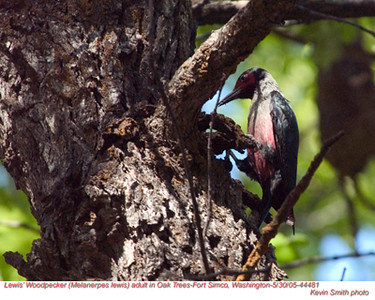 Lewis'WoodpeckerA44481.jpg
