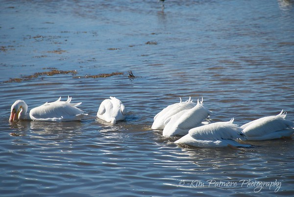 White Pelicans at Ding Darling Refuge Feeding Time