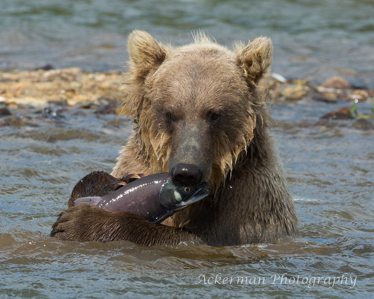 Brown_Bears_JLA_2450-Edit.jpg