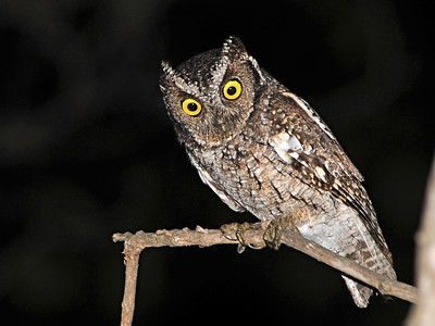 South American Owls