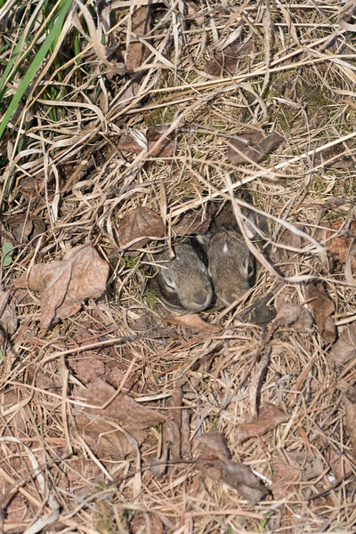 Cottontail rabbit bunnies in nest next to house Skogstjarna Carlton County MN DSC04499.jpg