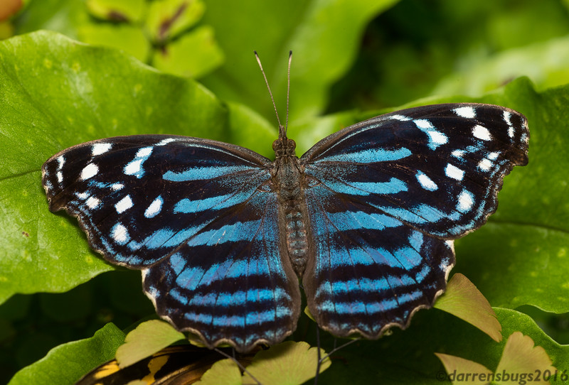 Mexican Bluewing Butterfly, Myscelia ethusa, from Green Hills Butterfly Ranch in Belize.