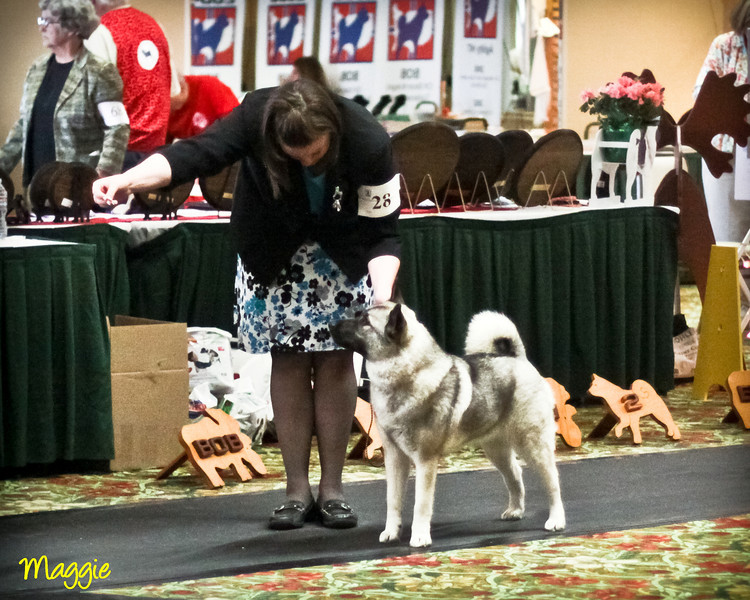 2012 Norwegian Elkhound National Specialty Show = San Diego