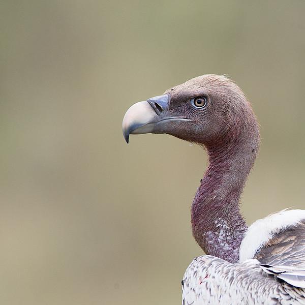 AF1T7669_vulture_profile.jpg