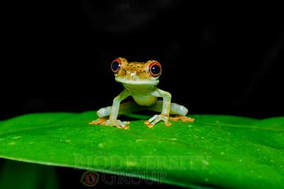 Bony-headed Treefrogs (Osteocephalus and Trachycephalus)