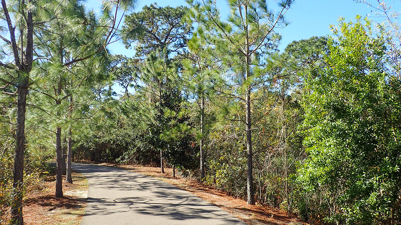 Paved path in pines