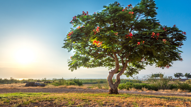 Trumpet Tree in Galilee