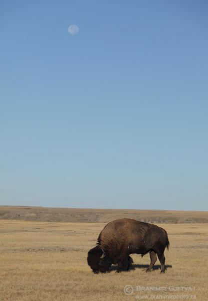 Plains bison and harvest moon. Grasslands National Park, Saskatchewan