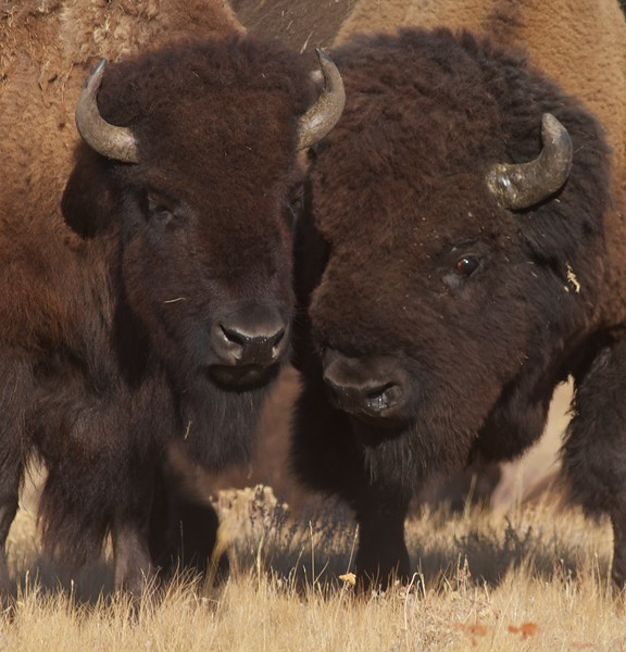 Bison sparring Yellowstone N.P. WY IMG_0068895.jpg