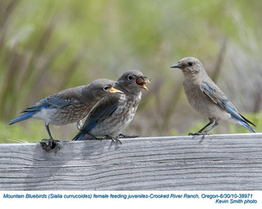 MountainBluebirdsF&J38971.jpg