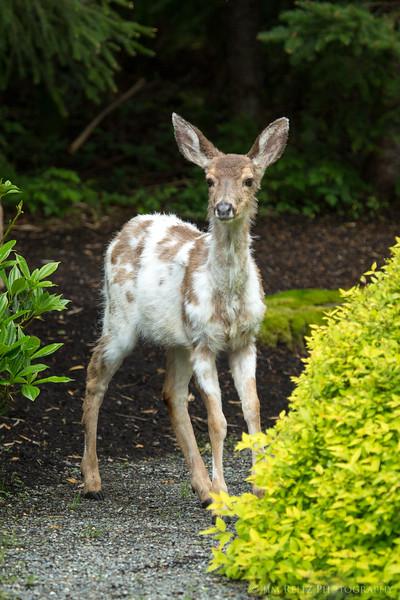 Piebald deer, in our front yard