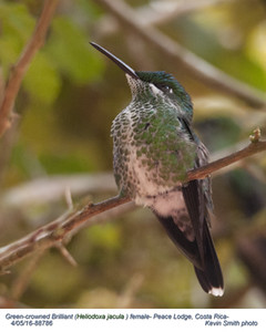 Green-crowned Brilliant F88786.jpg