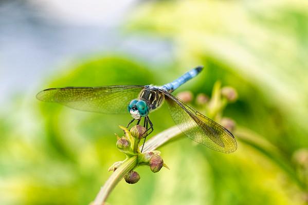 Dragonflies At The Missouri Botanical Garden