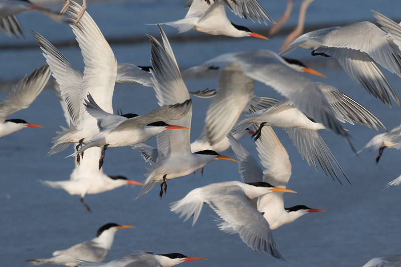 Elegant Tern San Elijo Lagoon 2020 05 11-4.CR2