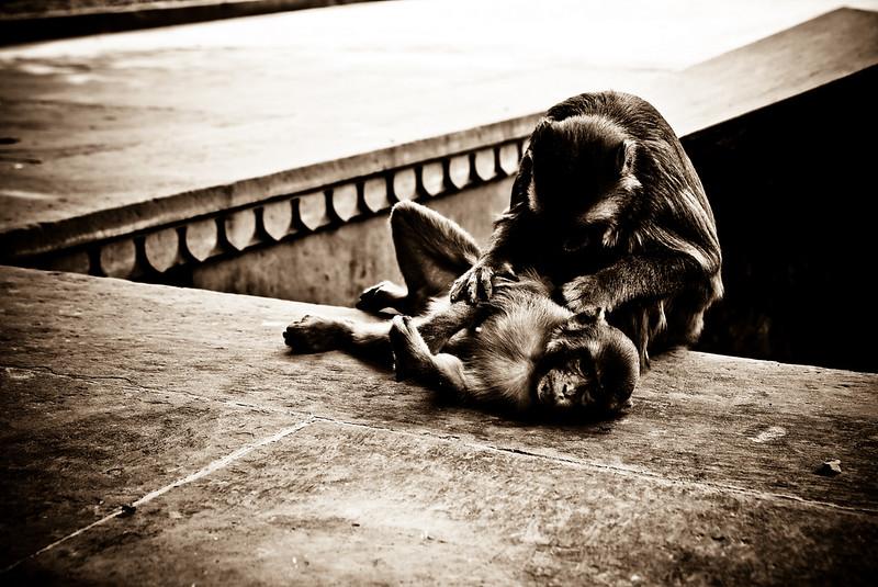 Monkeys roam the Baby Taj