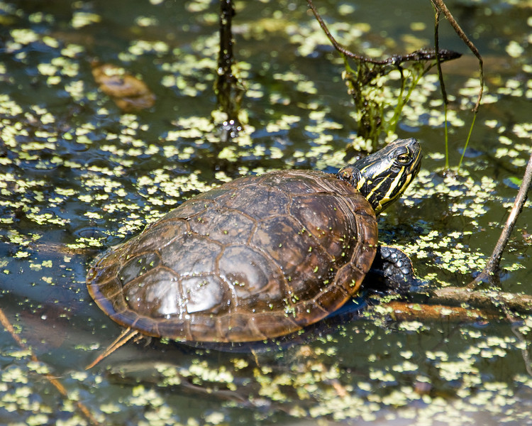 young red-eared slider c7263.jpg