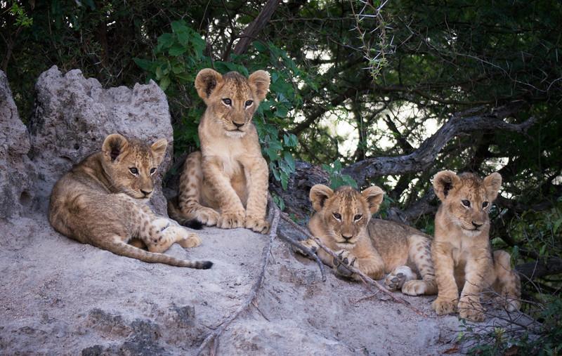 Mark-Fletcher-Lion Cubs.jpg