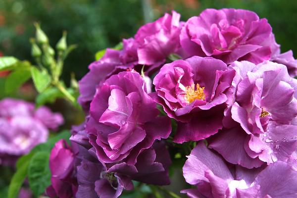 Portland Intnl Rose Garden June 2013