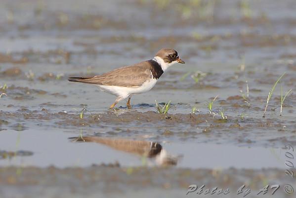 2009-08-15 Riverlands Migratory Bird Sanctuary