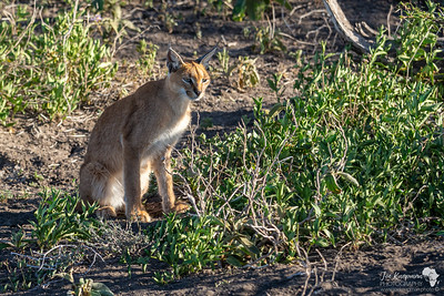 An Elusive Caracal