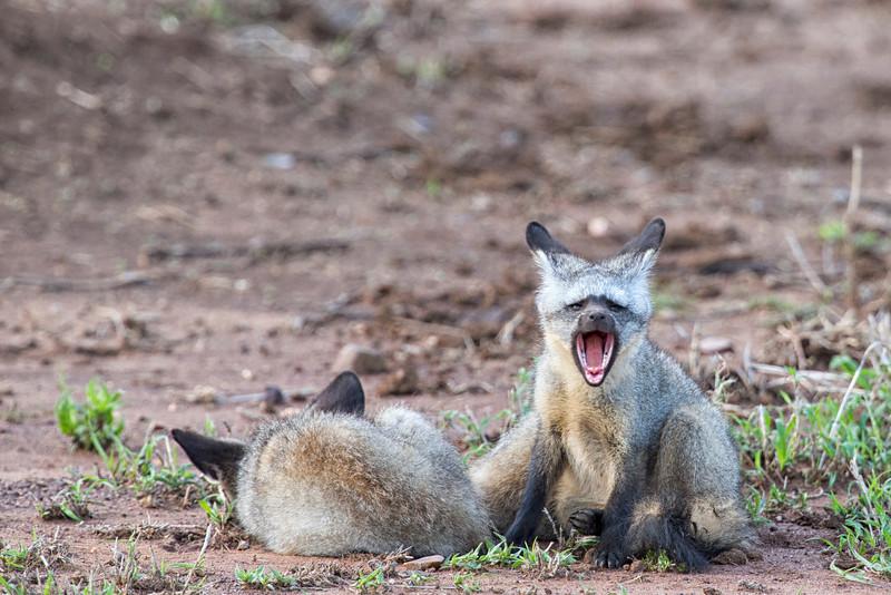 Serenegeti_12_2013_Bat_eared_fox_1.jpg