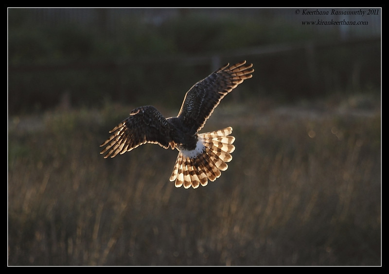 Northern Harrier hovering in setting sun, Bolsa Chica Ecological Reserve, Orange County, California, February 2011