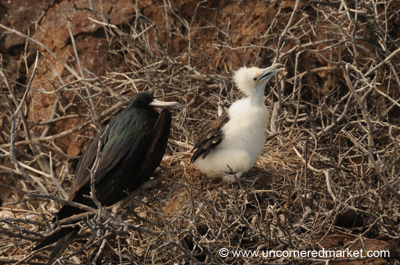 Mother and Baby Frigates - Galapagos Islands