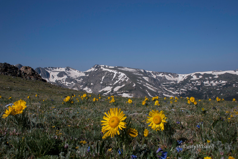 Alpine Sunflowers