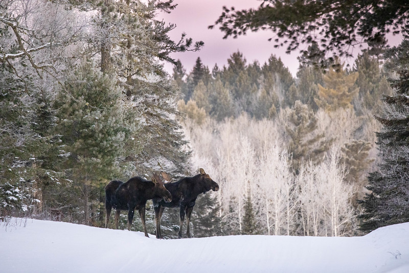 Moose pair bulls Sawbill Trail Cook County MN IMGC7037.jpg
