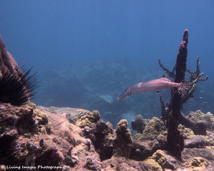 Dom Mar2014 - Trumpetfish 7 -1.jpg