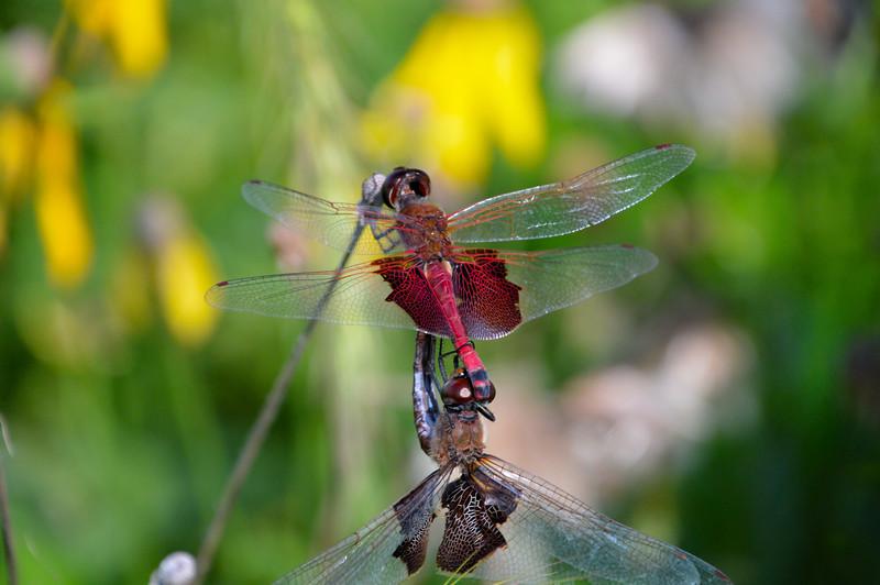 Mating-dragonflies.jpg