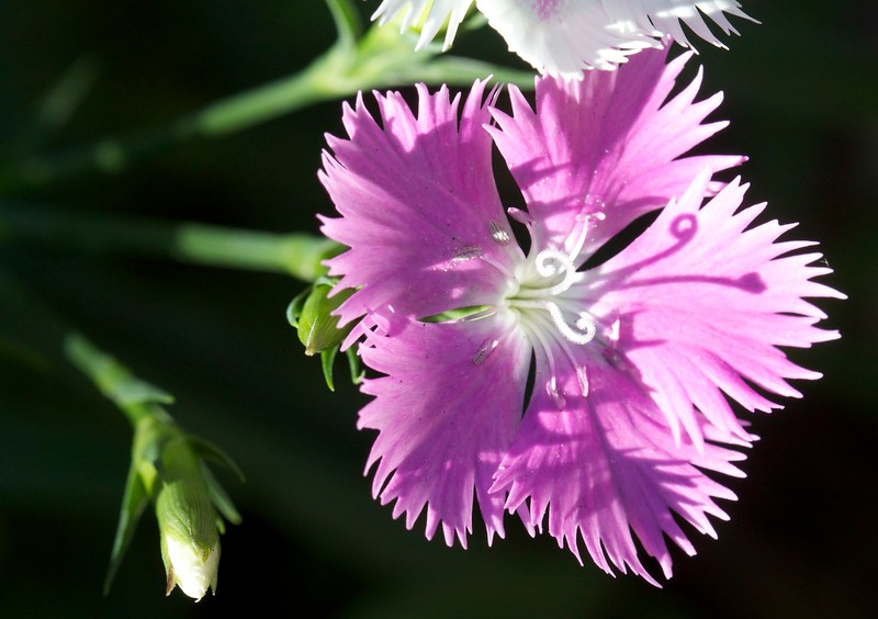 dianthus 1 of 4