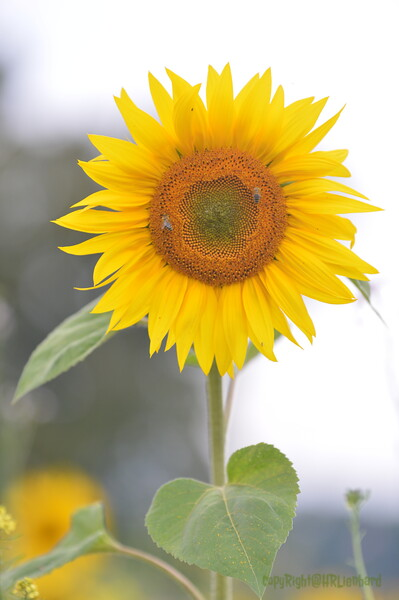 Sunflower Lonay_20092020 (66).JPG
